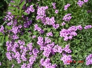 Oxalis Blooms