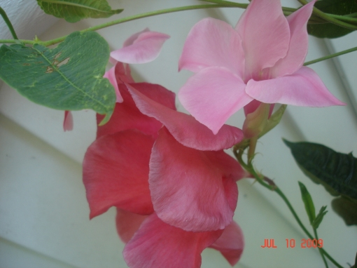 Mandevilla (B'day gift from The Son)